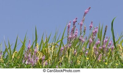 Japanese jacinth flowers - Purple japanese jacinth flowers...