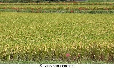 Ripe rice field - Paved yellow green ripe rice field in...