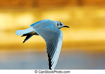 black headed gull in winter plumage - black headed gull in...