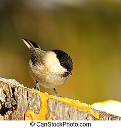 coal tit coming to feed on lard ( Periparus ater ), the wild...