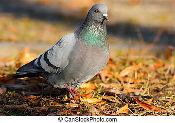 feral pigeon walking in the park - feral pigeon walking on...