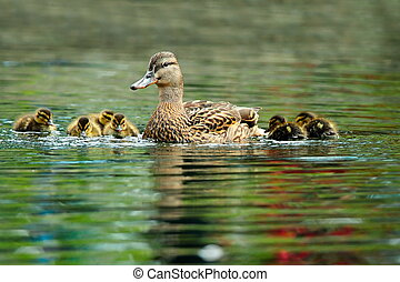 mallard duck family swimming on pond in spring, mother with...