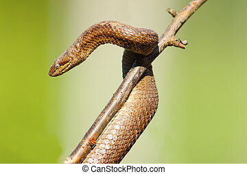 hibernación, después, liso, serpiente