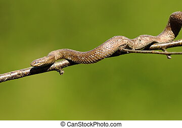 smooth snake climbing on tree branch ( Coronella austriaca...