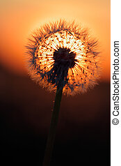 Fireball and sun behind dandelion flower seed head