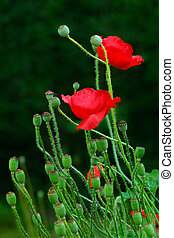 Papaver Rhoeas flowers over green background.