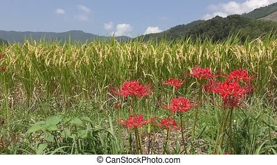 Red spider lily flowers in front of lined rice ears under...