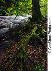 Tree roots covered moss - Tree roots covered green moss and...
