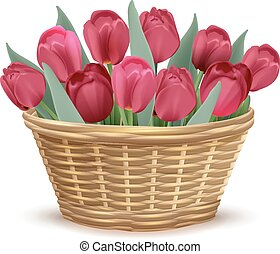 Full wicker basket with red tulips. Isolated on white vector...