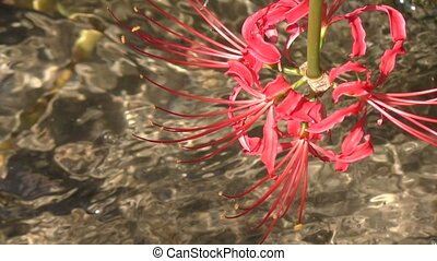 Red spider lily flower above agricultural water flow