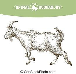 sketch of goat drawn by hand. livestock. animal grazing -...