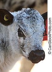 Newborn Calf Canada