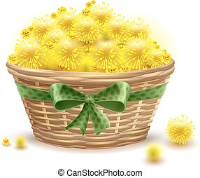 Yellow mimosa flowers full wicker basket. Isolated on white...