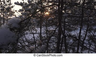 Sun breaks through snow-covered pine branch - Sun breaks...