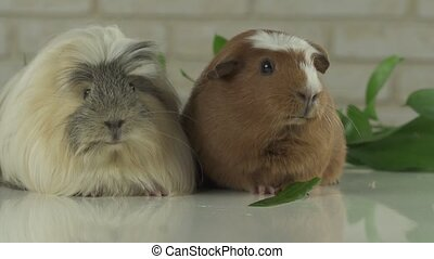 Two guinea pigs talk as announcers on television humor slow...