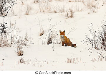 wild european red fox in snow