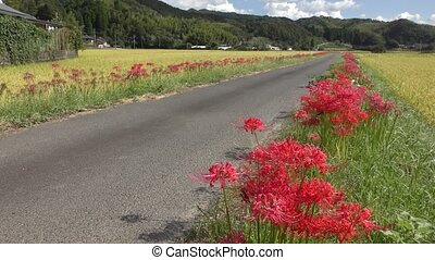 Flowers and farm road - Red spider lily flowers beside farm...