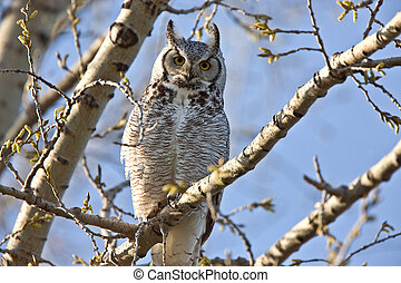 Great Horned Owl Saskatchewan