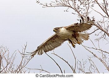 ferruginous hawk in flight at nest Saskatchewan Canada