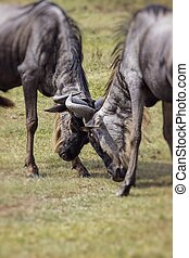 Two battling Wildebeests about to smash their heads against...