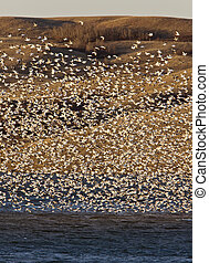 Snow Geese on Lake Canada