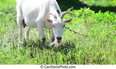 Adult white goat eating grass - An Adult white goat eating...