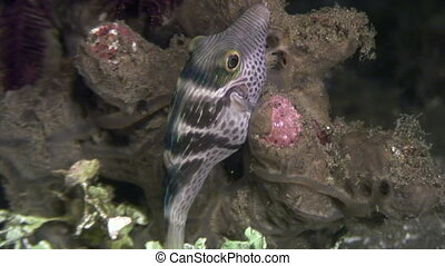 Boxfish of deep sea underwater in ocean of Philippines....