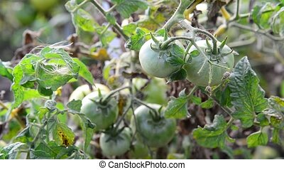 green unripe tomatoes in garden