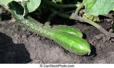 cucumber lying on a bed in kitchen garden - cucumber lying...