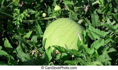 Green watermelon growing in garden - Green watermelon...