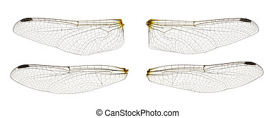 Dragonfly wings isolated on white