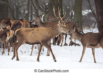 Red deer in winter