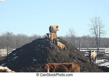 Cows on Dirt-Manure Mound - Young cows standing on a mound...