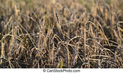 Dried ears of wheat in the field at sunset - Dried ears of...