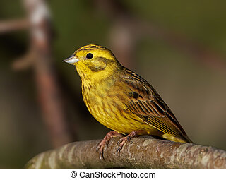 Yellowhammer (Emberiza citrinella) - Yellowhammer resting on...