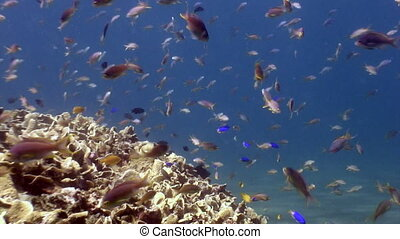 School of colorful fish underwater on deep sea in search of...