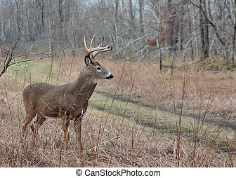 Whitetail Deer Buck - A whitetail deer buck standing in a...