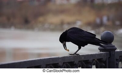 Black raven and gull on iron railing on river in cloudy day and big cityscape background. Bird eating bread.