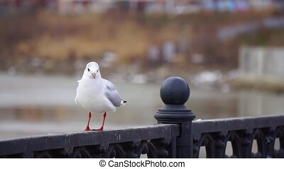 Gull on iron railing on river in cloudy day and big cityscape background. Bird eating bread.