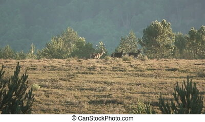 Male deer leading the herd at dusk - Long shot of male deer...