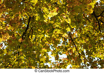 Autumn oak foliage background.