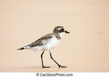 Lesser Sand Plover. Charadrius mongolus.