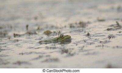 Frog Sitting in the Swamp - green frog sitting in a swamp,...