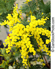 background of beauty yellow mimosa flowers on the plant in...