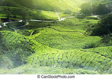 tea plantation mist