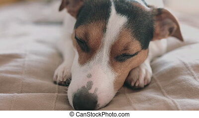 Jack Russell Terrier dog looking at the camera, shooting from hands