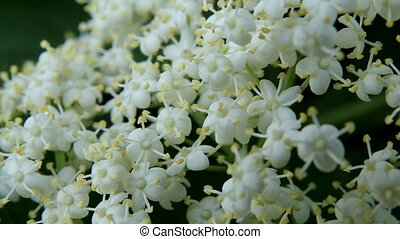 Plant White Flowers - beautiful jasmin flowers in bloom.