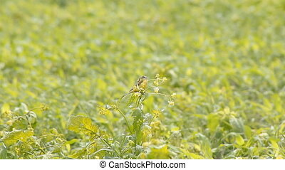 Bird in the Field Catches Insects - four Scaly-breasted...