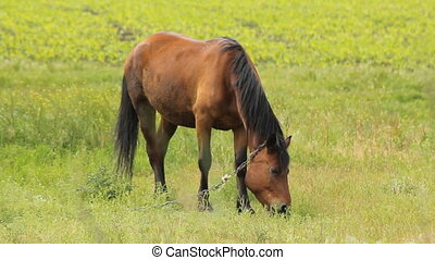 Summer Horse Grazing - horses and one sorrel grazing on the...