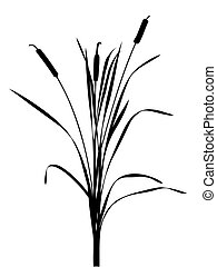 illustration of the reed on white background...